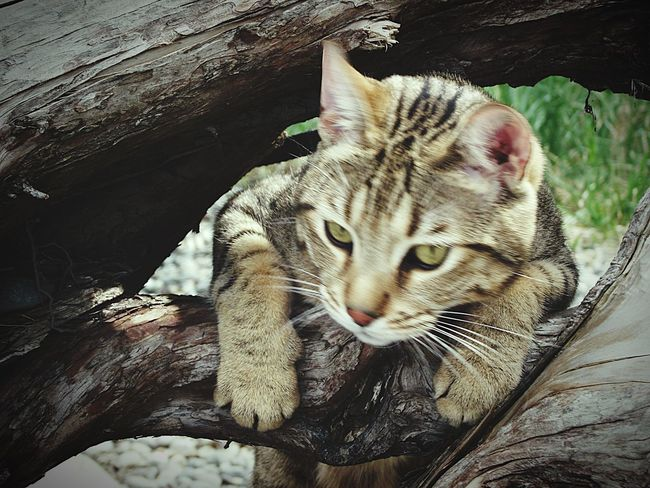 All My Photos Taken With IPhone5 I Love My Cat Cats Cat Bengal Cat Archie Cat♡ Cat Lovers Caturday Catoftheday