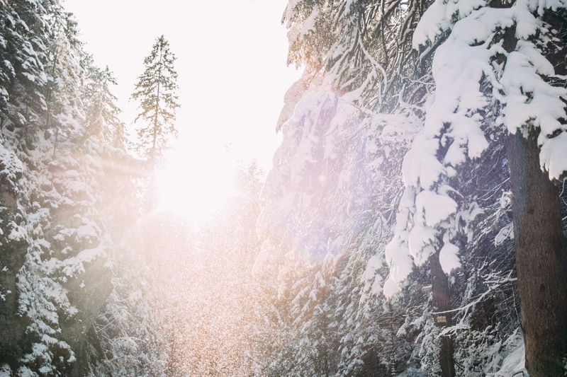 Tree Snow Cold Temperature Winter Beauty In Nature Nature Forest Tranquility Tranquil Scene Scenics - Nature Lens Flare