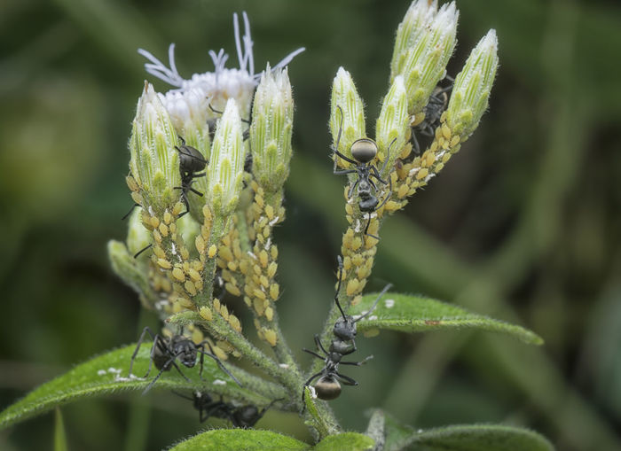 Colobopsis ants and aphids