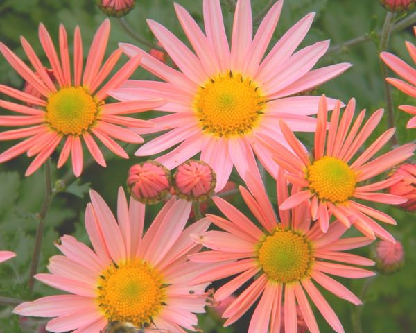 Pastel Power Flower Power🌼 ... beauty is all around... Taken at Hickory Hill Orchards in Connecticut... East Coast Beauty