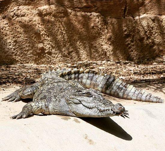 Crocodille Soak Up The Sun Terra  Natura Wildlifepark Benidorm SPAIN