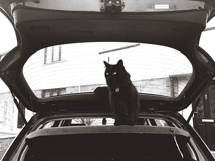Black cat wants to go for a ride Black Car Black Cat Blackandwhite Monochrome Cat In The Car Cat In The Boot Black&white Taking Photos Curious Cat Check This Out Cat Explorer Lucky Cat Called Lucky