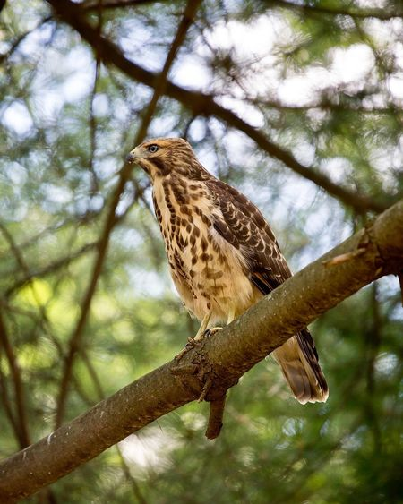 Fledgling Red Tailed Hawk Hawk One Animal Animal Wildlife Animals In The Wild Tree Animal Themes Animal Bird Perching Low Angle View Beauty In Nature Bird Of Prey Outdoors