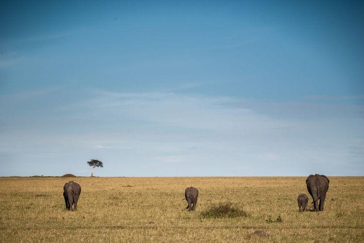 Animal Themes Blue Elefant Elefant Baby Elefant Family Field Horizon Over Land Kenya Landscape Massai Mara Nature Non-urban Scene Outdoors Photo Photographer Photooftheday Safari Safari Adventure Safari Animals Safaripark Tranquil Scene Travel Destinations Travel Photography Traveling Zoology