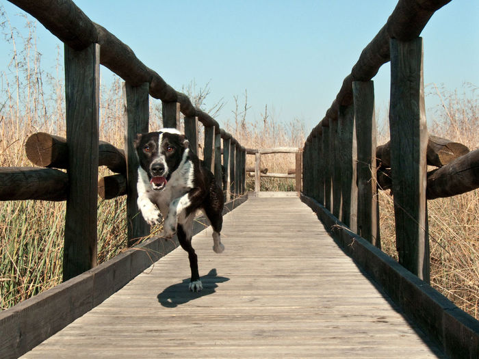 Animal Themes Black And White Dog Clear Sky Clear Sky Dog Domestic Animals Hunting Dog Jetty Jumping Dog Looking At Camera Massaciuccoli Nature No People One Animal Outdoors Pets Pond Running Dog Rushes Sky Swamp Tuscany Wood Wood - Material Wood Street