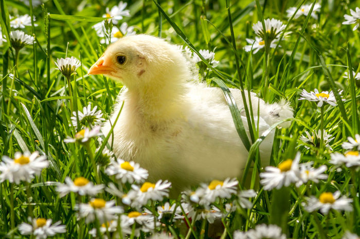 Happy 🐣 Easter Easter Happy Chicken Animal Animal Themes Beauty In Nature Bird Chick Close-up Day Easter Chicks Field Flower Flowering Plant Grass Green Color Growth Nature No People One Animal Plant Vertebrate Yellow Young Animal Young Bird