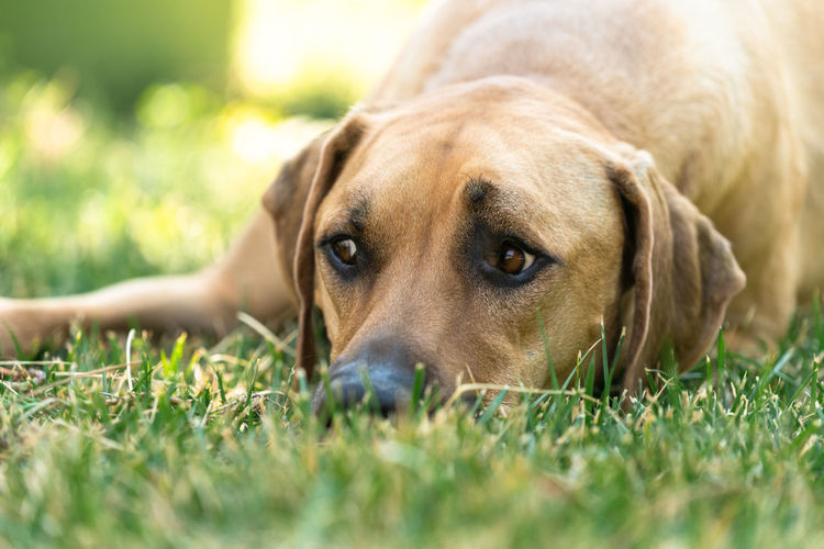 Close-up portrait of dog lying on grass