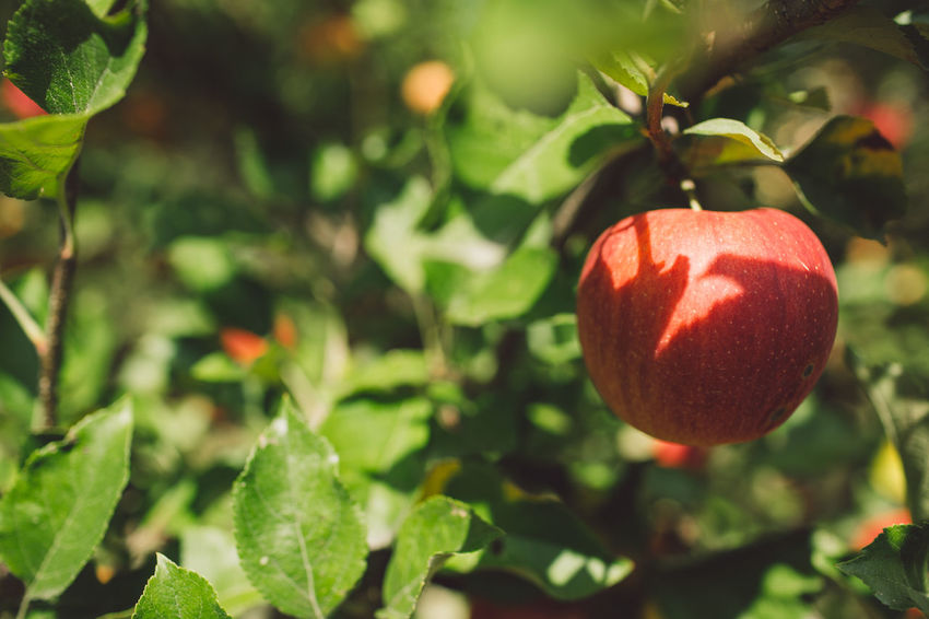 Apple Apple Tree Branch Healthy Eating Fruit Food Food And Drink Plant Red Leaf Growth Freshness Plant Part Focus On Foreground Nature Day Close-up Wellbeing No People Tree Sunlight Green Color Fruit Tree Outdoors Ripe