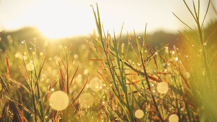 Close-up of grass growing on field against bright sun