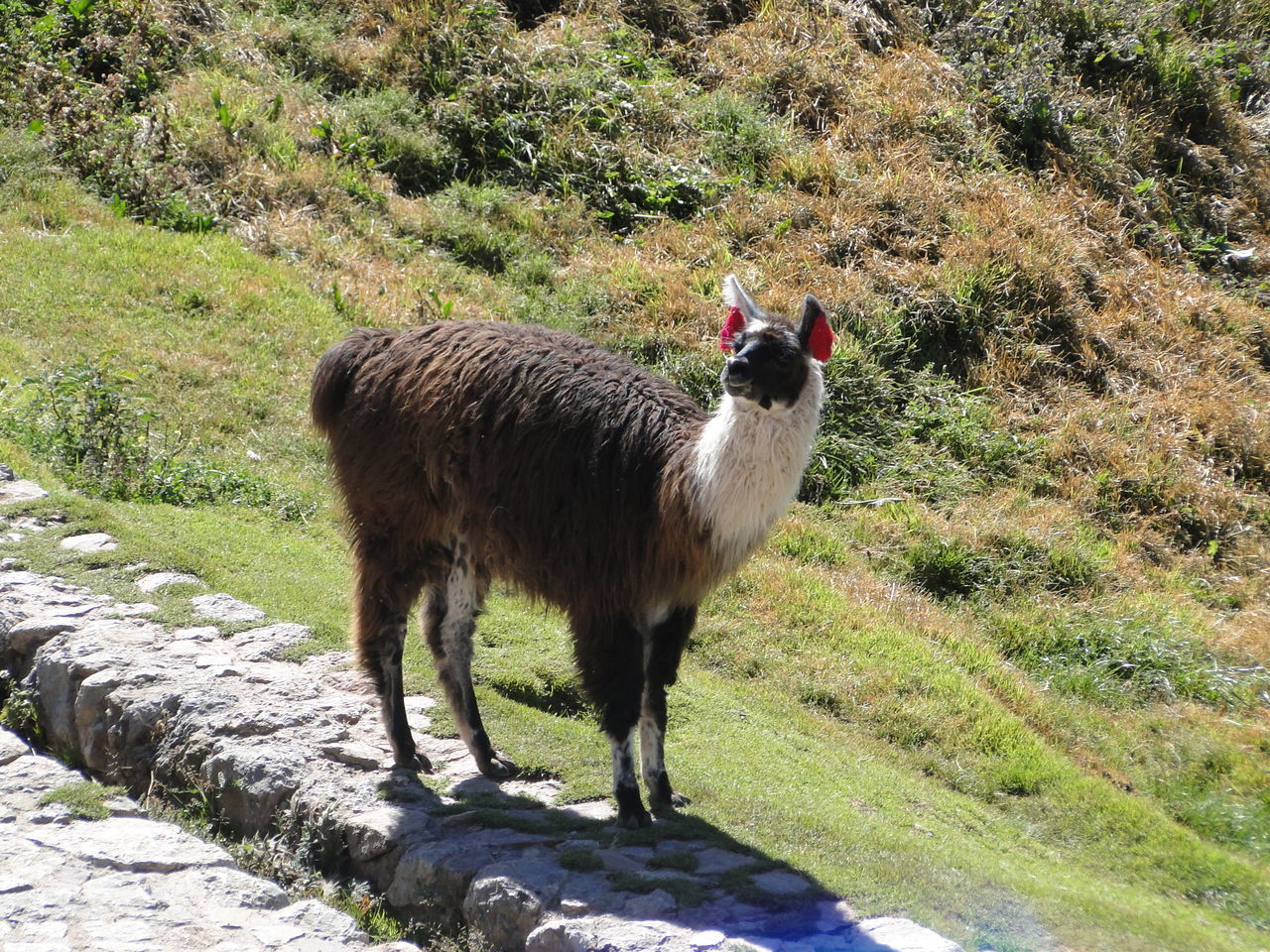 animal themes, mammal, domestic animals, one animal, grass, livestock, no people, day, nature, field, green color, outdoors, llama, standing, plant, beauty in nature