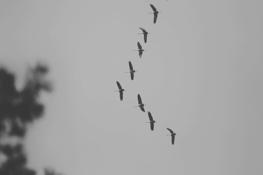 Canon Photography Black And White Photography Black And White Bnw Migrating Birds Bird Migration Migration Birds Flying Low Angle View Animal Themes Animals In The Wild Mid-air Bird Outdoors Day No People Clear Sky Animal Wildlife Nature Sky Large Group Of Animals Spread Wings