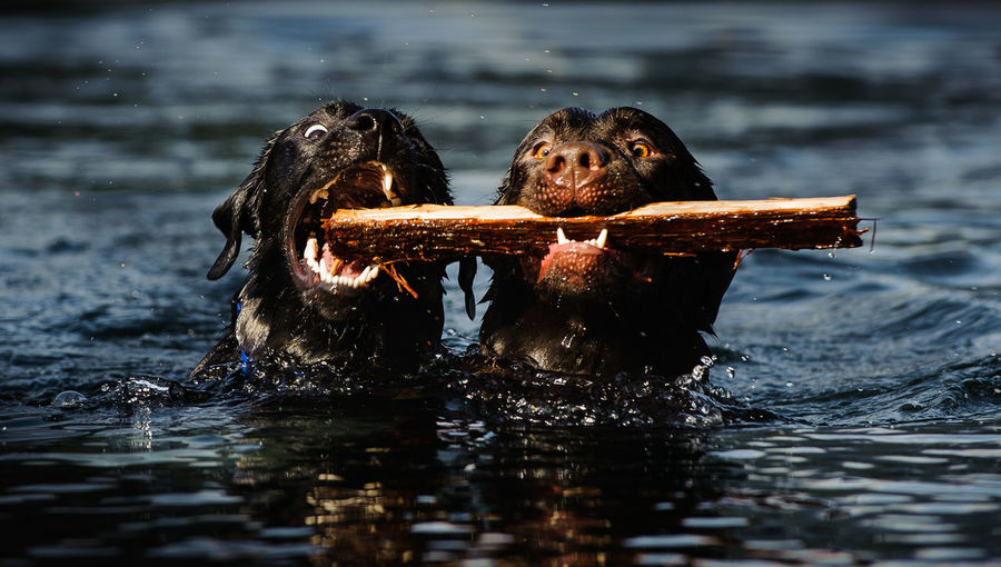 Black dogs holding wood in lake