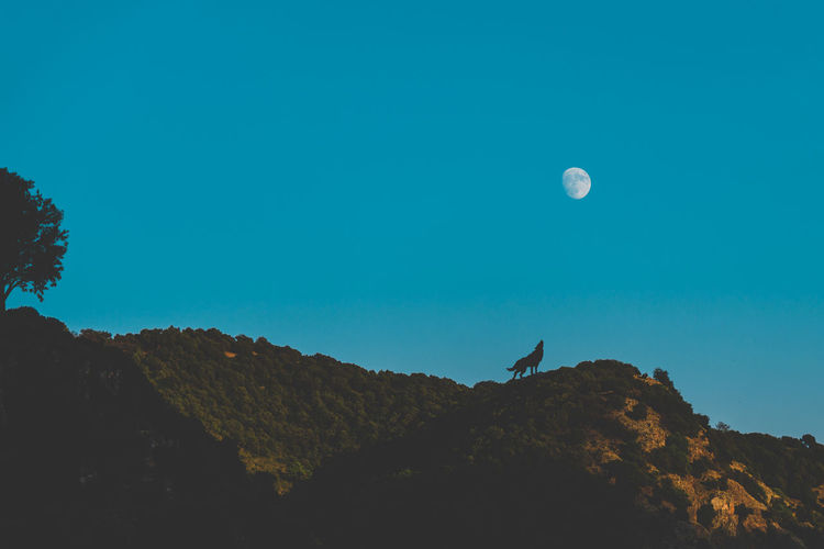 Howl at the moon! EyeEm Best Shots Nature Animal Themes Animals In The Wild Astronomy Beauty In Nature Beauty In Nature Bird Blue Clear Sky Crescent Half Moon Howl Moon Nature Night No People One Animal Outdoors Scenics Sky Tranquil Scene Tranquility Wolf Perspectives On Nature