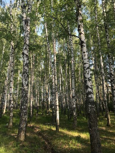 Birch Plant