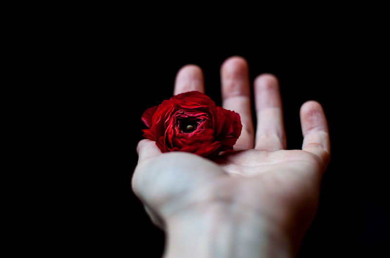 Cropped Hand Of Woman Holding Red Rose Against Black Background