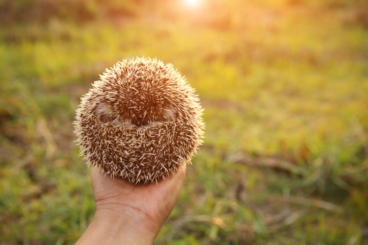 Hand Human Hand Human Body Part One Person Body Part Real People Unrecognizable Person Personal Perspective Focus On Foreground Holding Close-up Finger Nature Day Land Human Finger Plant Outdoors Field Hedgehog