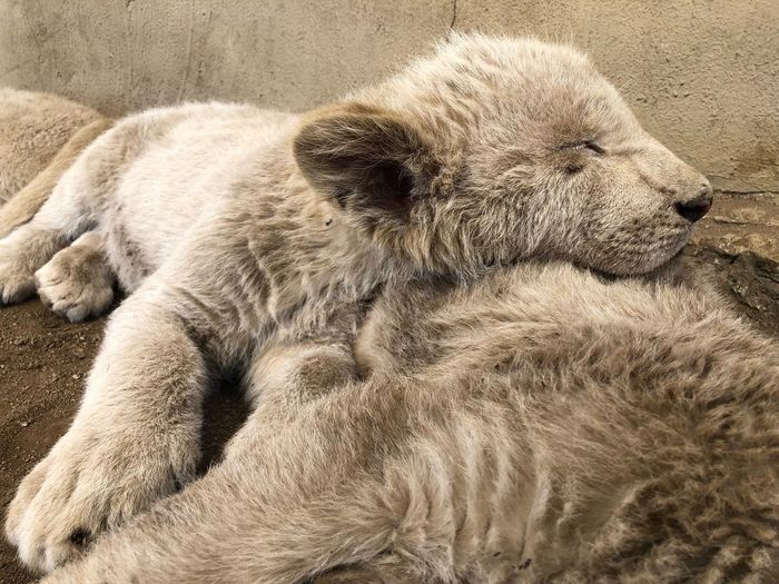 Lion Park South Africa Lion Cubs Cubs  Lion Animal Themes Animal Relaxation Mammal One Animal No People Sand Nature Beach Resting Animal Wildlife Sleeping High Angle View Sunlight