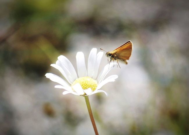 Butterfly Macro Butterfly On Daisy Butterfly On Flower Macrophotography Macro Cuteflower Butterfly And Flowers Wildflower Daisy Butterfly Flower Fragility Nature Insect Freshness Growth Petal Flower Head Beauty In Nature Plant Outdoors Focus On Foreground