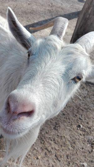 Goat White Goat Goathead Goat Head Goat Farm Goatfarm