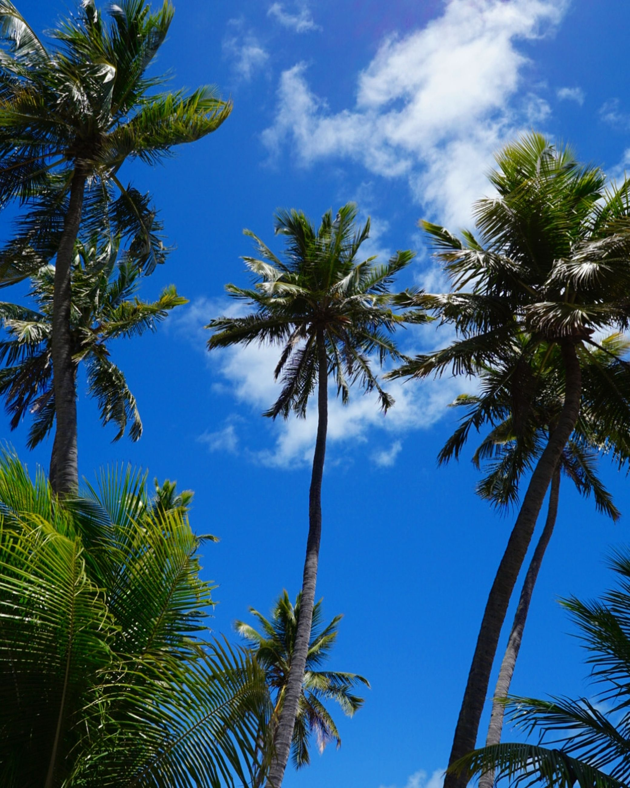 plant, tree, sky, palm tree, tropical climate, growth, low angle view, cloud - sky, beauty in nature, tree trunk, trunk, tranquility, no people, nature, blue, tall - high, green color, day, scenics - nature, tranquil scene, coconut palm tree, palm leaf, outdoors, tropical tree