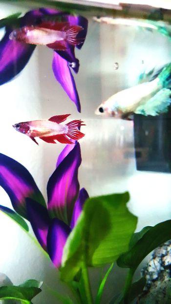 Close-up Pink Color Water Fragility Aquarium Animal Themes Freshness Pets No People Animal Light And Shadows Home Interior Tranquility Bettas Bettafishcommunity Fish Tank