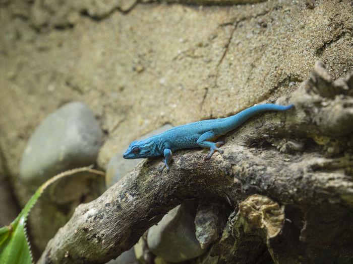 Blue Lizard Dählhölzli Reptile Animal Animal Themes Blue Bluelizard Color Day Lizard Nature No People One Animal Plant Reptile Rock Rock - Object Vertebrate