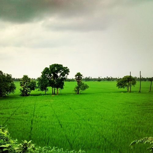 Day 3. The green paddy fields around Yanam. Yanam is a district of Pondicherry and is on the coast with the sea on one side, River Godavari on another and Andhra Pradesh on the others. NEroadtrip IndiaTrail Yanam Pondicherry www.indiatrail.org