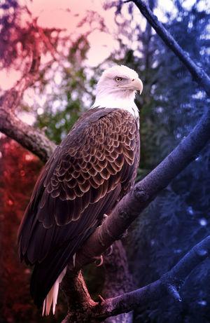 American American Flag Baldeagle Baldeagles DontTreadOnMe DontTreadOnUs Eagles Patriotic Patriotism USA