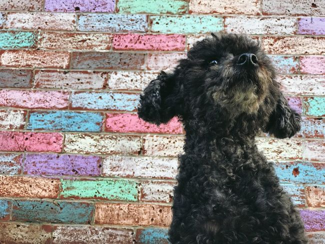 Adapted To The City IPhoneography Iphoneonly Canine Companion Toypoodle Poodle