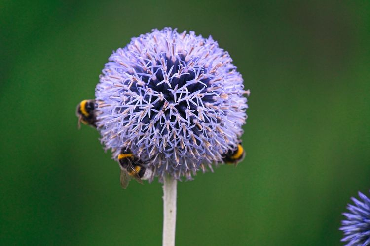 Thistle Flower Flowering Plant Flower Head Fragility Vulnerability  Inflorescence Plant Beauty In Nature Close-up Freshness Petal Growth Focus On Foreground Nature Invertebrate Insect Animals In The Wild Bee Purple Animal Wildlife