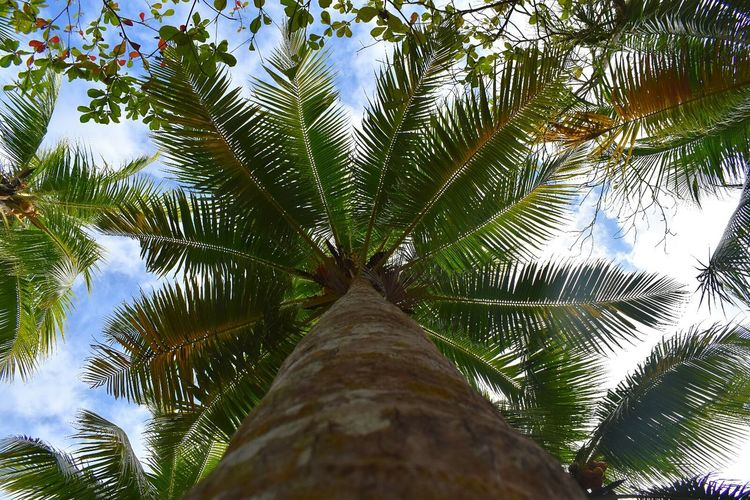 Tree Nature No People Beauty In Nature Palm Tree Growth Outdoors Day Low Angle View Close-up Green Color Sky Beach Beach Walk Beach Day Palm Tree Palm Trees On The Beach Nature Palm Tree Leaves Palm Tree And Sky
