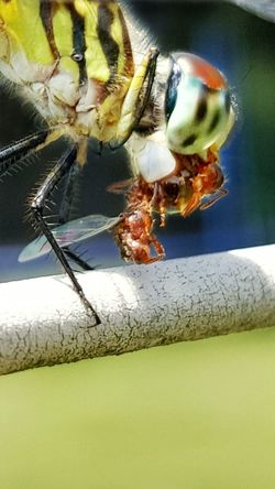 Dragonfly Dragonfly Eating Close-up Nature Animal Wildlife Animal Themes Flying Insect Preditor Predator Dragonfly Closeup Insect Eating Wings Eyes Eating Eating Bugs Good Insect Mouth Macro Beauty In Nature Macro Dragonfly Eating Prey Dragonfly Perched Animal Eating Hunting Predator And Prey