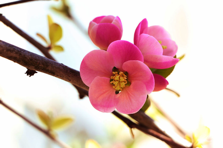 Beauty in simplicity. Beauty In Nature Blooming Close-up Daylight Flower Flower Collection Flower Photography Flowerporn Flowers, Nature And Beauty Freshness Japanese Quince Macro Beauty Macro Nature Nature Nature_collection Outdoors Pink Color Plant Simple Beauty Simple Photography Spring Spring 2017 Spring Flowers Springtime
