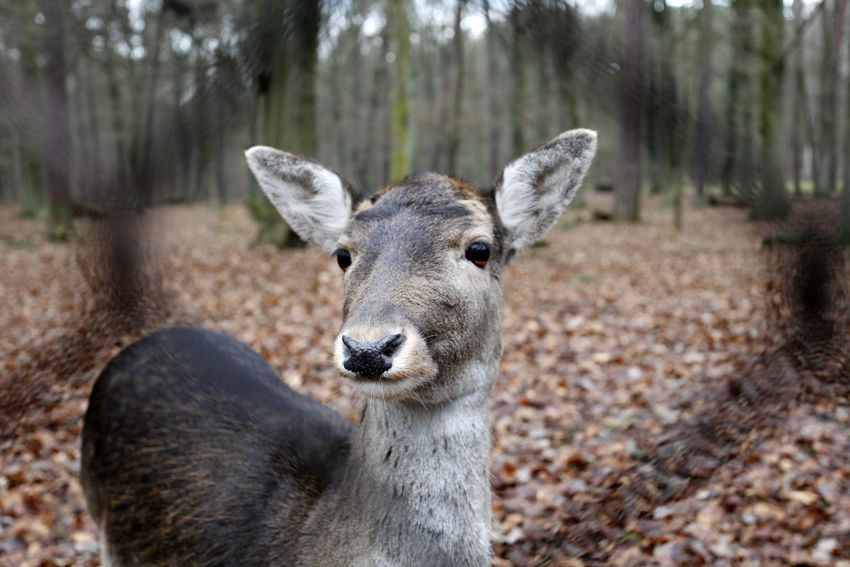 Animal Animal Head  Animal Themes Autumn Berlin Caroline Omlid Close-up Day Deer Forest Game Reserve Mammal Nature No People Omlid Mediadesign Outdoors Portrait Roe Deer Selective Focus Wildlife