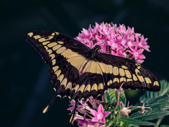 Botanical Gardens Composing Digital Imaging Imago King Swallowtail Königs-Page Königs-Schwalbenschwanz Papilio Thoas
