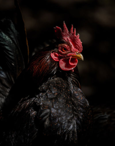 Low Key Animal Crest Animal Themes Bird Chicken - Bird Close-up Cockerel Domestic Animals Lowkey  Nature One Animal Outdoors Portrait Vane Pet Portraits The Week On EyeEm See The Light EyeEm Ready   The Still Life Photographer - 2018 EyeEm Awards