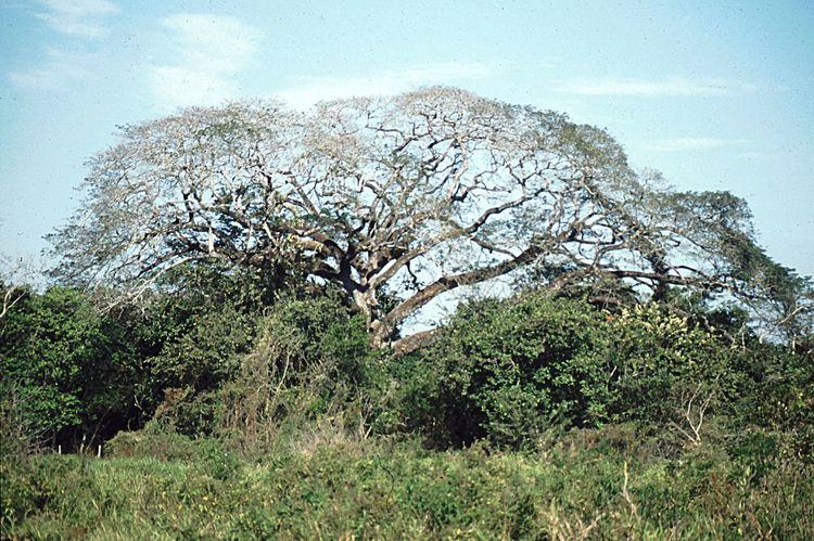 very big tree for birds, Llanos Venezuela Tranquility Tranquil Scene Turism Big Tree Llanos Venezuela Plant Tree Sky Growth Nature Day No People Beauty In Nature Green Color Grass Scenics - Nature Outdoors