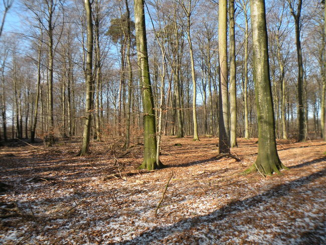 Winter Denmark Sorø Sønderskov Sønderskov Forest Countryside Danish Blue Sky Bare Tree Brown Leaves Leaf Dead Leaves Shadow Forest Floor Forest Tree Nature WoodLand Tree Trunk Day Beauty In Nature Tranquility Tranquil Scene Outdoors Scenics Growth Sunlight No People Branch Sky