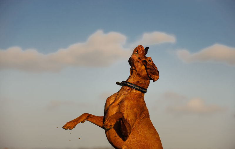 Vizsla dog Animal Dog Pet Vizsla Canine Nature Day Outdoors Sky Domestic Animals Pets Animal Themes No People Cloud - Sky One Animal Jumping