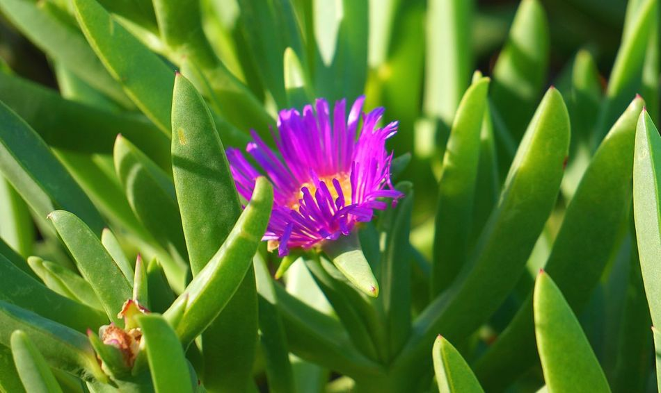 Carpobrotus (pigface) with single purple flower. Beauty In Nature Blooming Carpobrotus Close-up Flower Flower Head Focus On Foreground Freshness Green Green Color Growth In Bloom Nature No People Outdoors Petal Pigface Purple