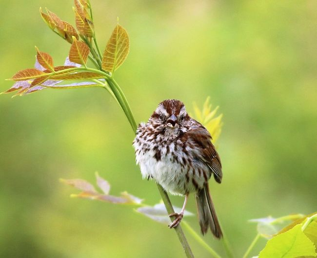 Close-up of a little singing sparrow perched on a branch. Singing Sparrow Animal Themes Animal Wildlife Animals In The Wild Beauty In Nature Bird Close-up Day Flower Flower Head Growth Leaf Nature No People One Animal Outdoors Perching Plant Sparrow Sparrow Bird