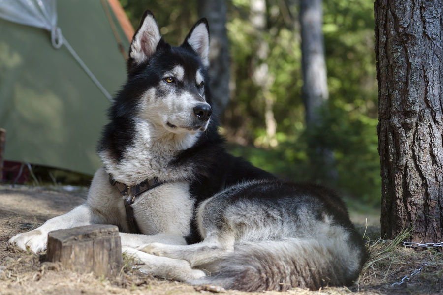 Alaskan Malamute in a forest camp Alaskan Malamute Nature Pine Animal Black Coat Collar Dog Domestic Animals Forest Forest Photography Gorgeous Grooming Guard Mountain Pet Pose Sable Sled Dog Summer Tied Vet  White Wild Camp