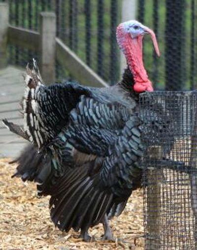 City Farm  Lucky  The Turkey  :-)