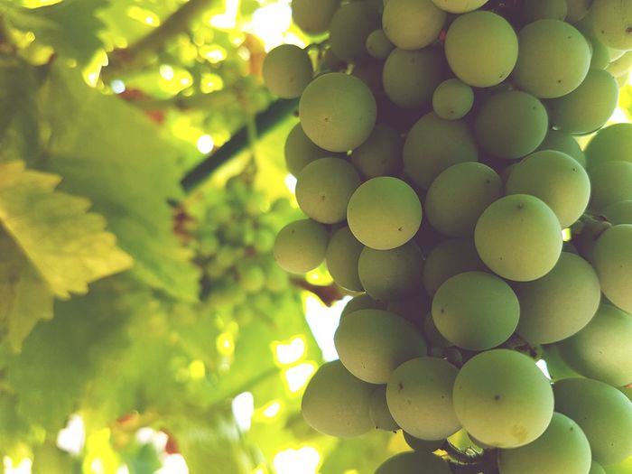 Vine - Plant Agriculture Fruit Wine Grape Social Issues Close-up Plant Green Color Food And Drink