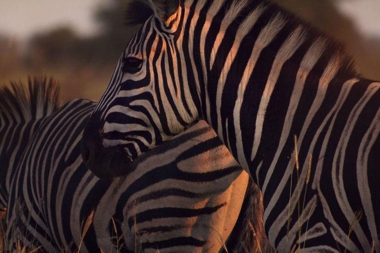 Close-up of zebra standing outdoors