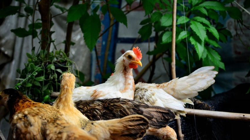 Dwarf chicken in the farm Chicken Hen White Chicken Beautiful Chicken Dwarf Chicken Animal Pets Farm