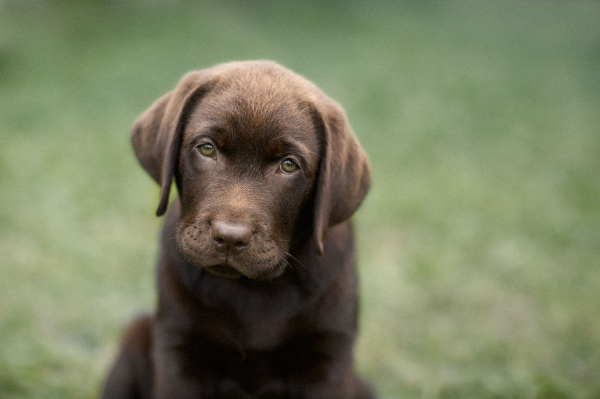 Labrador puppy on the grass Animal Dog Domestic Animals Labrador Chocolate Labrador On Green Grass Labrador Retriever Labradorchocolate No People Outdoors Pets Portrait Puppy Qute Animals Pet Portraits