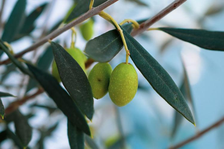 Athens Olives