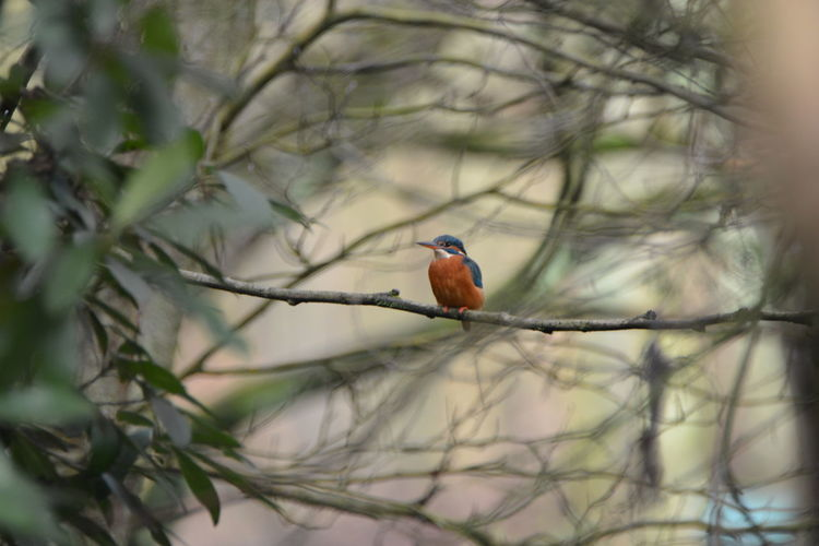 Animal Themes Animal Wildlife Animals In The Wild Beauty In Nature Bird Branch Day EyeEm Gallery EyeEm Nature Lover King Fisher At Last Kingfisher Nature No People One Animal Outdoors Perching Robin Tree