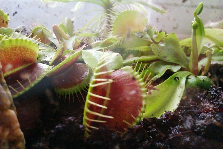 Growth Plant No People Nature Dionaea Muscipula